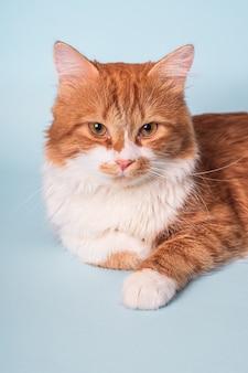 Adorable jeune chat roux avec fourrure blanche et visage sérieux couché et reposant sur le bleu
