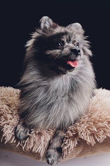 Adorable loup spitz assis
