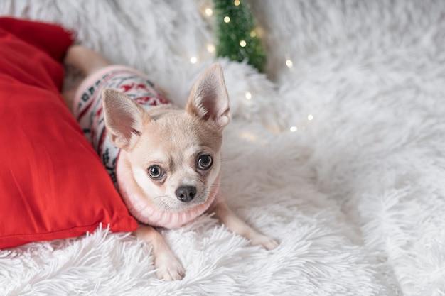 Adorable petit chien chihuahua chien de noël en pull se trouve sur une couverture.
