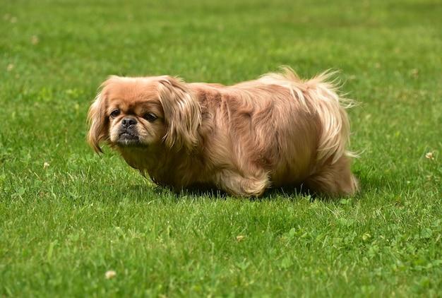 Adorable petit chien pékinois au gingembre moelleux avec un long corps jouant à l'extérieur.
