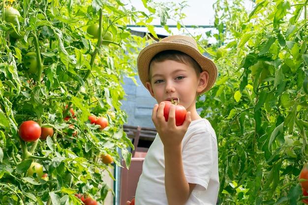 Adorable petit garçon enfant au chapeau de paille tenir des tomates en serre. jardinage et récolte des enfants. consept de légumes biologiques sains pour les enfants. végétarisme des enfants