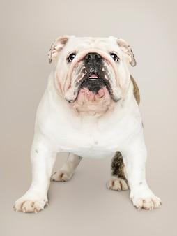 Adorable portrait de chiot bouledogue blanc