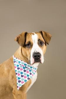 Adorable staffordshire terrier en bandana coeurs.