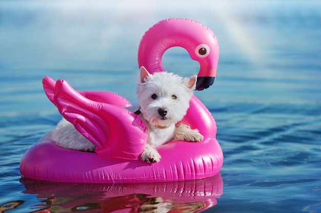 Adorable west highland terrier nageant sur le flamant rose