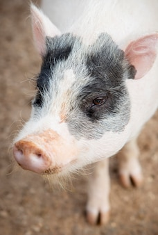 Adorables bébés cochons à la ferme