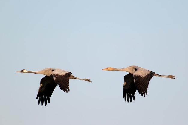 Un adulte et jeune grue grise en vol sur ciel bleu flou