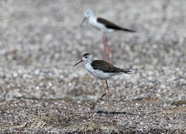 Un adulte et un jeune jeune échasses à ailes noires reposent sur la rive sablonneuse de l'estuaire. différences clairement visibles entre les oiseaux