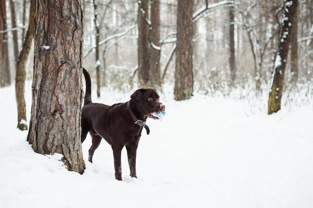 Adulte labrador retriever brun jouant