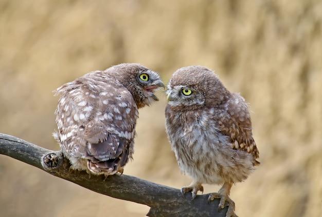 Les adultes et les jeunes petits hiboux (athene noctua) sont près du nid dans un habitat naturel.