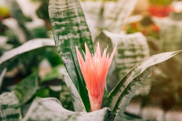 Aechmea fasciata bromeliad plante exotique avec une belle fleur