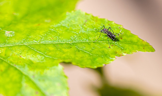 Aedes aegypti moustique pernilongo avec des taches blanches et feuille verte