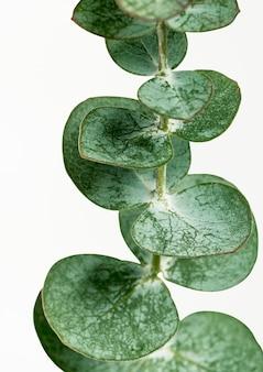 Affiche de feuilles rondes d'eucalyptus