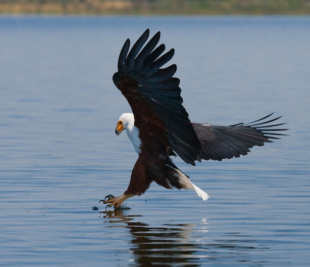 African fish eagle au moment de l'attaque de la proie kenya tanzanie safari afrique de l'est