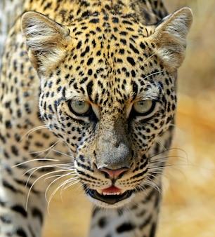 African leopard dans le parc national de samburu. kenya