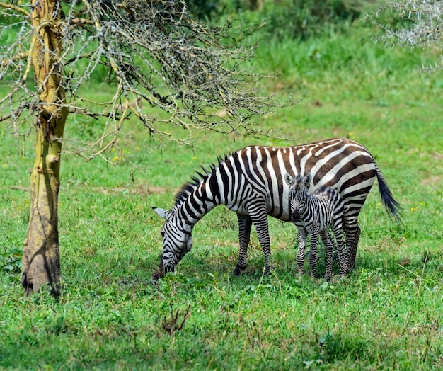 African zebra kenya dans leur habitat naturel. parc nakuru.
