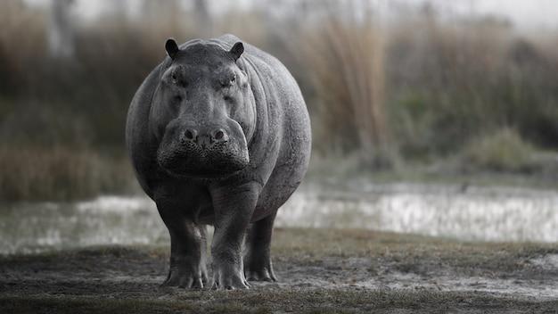 Afrique hippopotamus amphibius