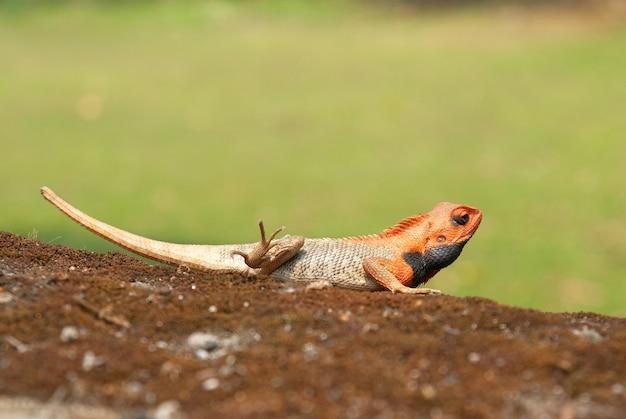 Agama à tête orange sur l'herbe verte tendre.