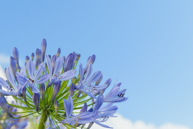 Agapanthe bleue dans le ciel