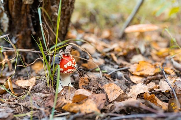 Agaric mouche aux champignons vénéneux