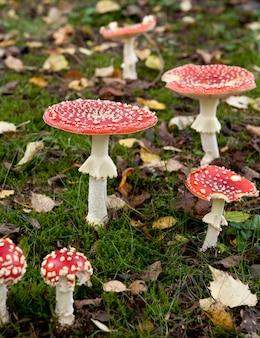 Agaric à la mouche ou champignons amanita, amanita muscaria