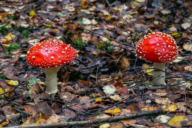 Agaric de mouche des champignons rouges toxique et dangereux