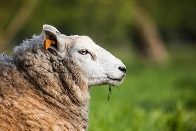 Un agneau mignon me regarde