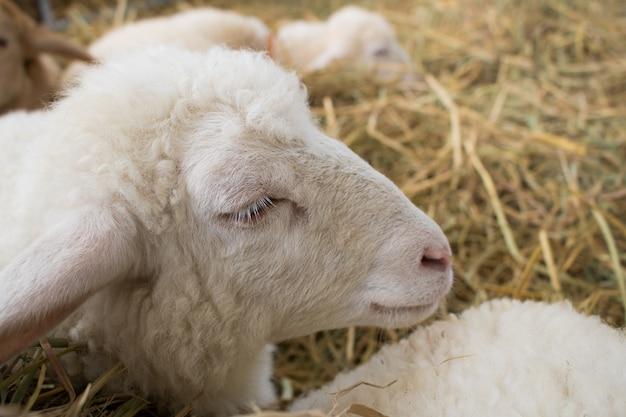 Agneau ou mouton doux dormant sur de la paille de riz avec espace
