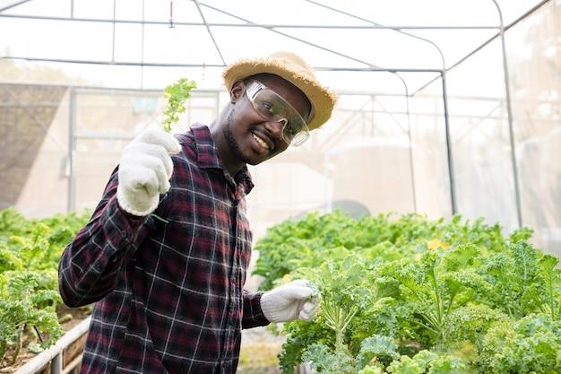 Agriculteur afro-américain se tenant la main pour vérifier l'usine de laitue chou frais, légume hydroponique biologique en serre