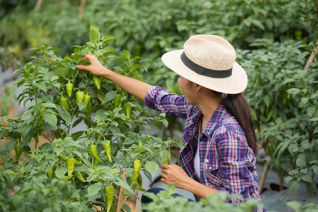 Agriculteur d'âge moyen, avec du piment bio sur place