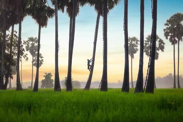 Un agriculteur asiatique dans une plantation de sucre de palme s'efforce de rester frais le matin, à ayutthaya, en thaïlande. le sucre est un produit du palmier à sucre qui est doux lorsqu'il est bouilli et peut être bu