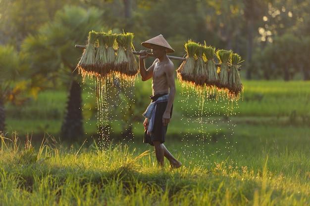 Agriculteur asiatique portant des semis de riz sur le dos avant la culture en rizière,