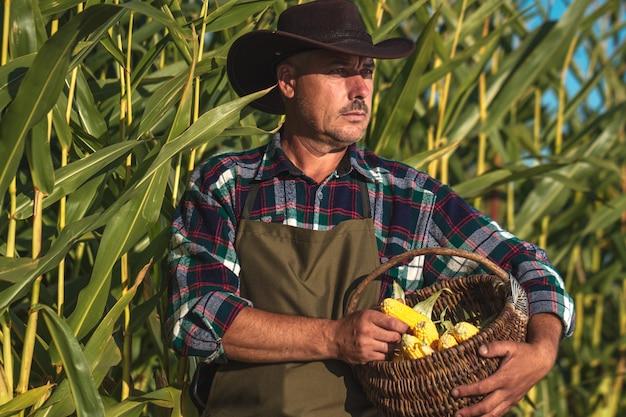 Un agriculteur au chapeau et tablier dans un champ de maïs récoltant un maïs juteux, jaune et mûr au coucher du soleil. corbeille à maïs. agriculture