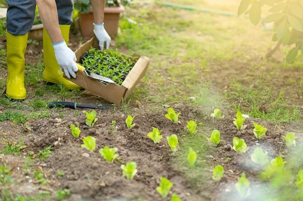 Agriculteur en bottes de caoutchouc jaune et gants plantant de jeunes plants de salade de laitue et de poivre dans le potager. pots,boîtes avec seedlights et voiture de jardin sur l'arrière-plan. concept de croissance écologique.