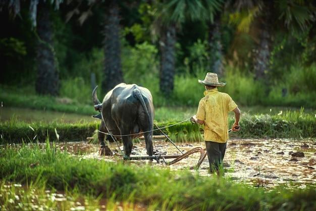 Agriculteur et buffle dans le champ de riz thaïlande