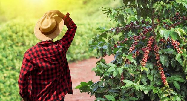 Agriculteur avec chapeau suivant sur caféier avec fruits rouges mûrs, prêt pour la récolte, champ au coucher du soleil. espace pour le texte.