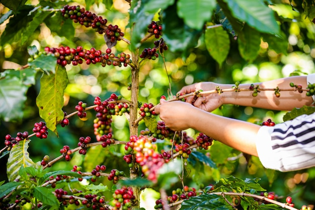 Agriculteur collecte des grains de café sur les terres agricoles de chiang rai en thaïlande