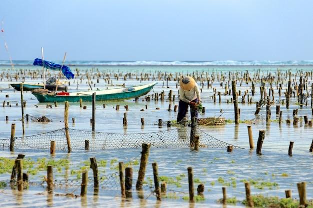 Agriculteur collecte des plantations d'algues à la ferme d'algues à nusa penida, indonésie