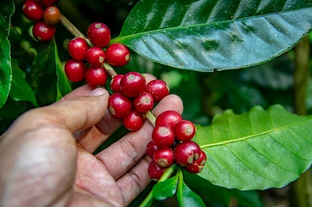 Agriculteur cueillant des haricots cerises mûres. producteur de café cueillant des grains de cerise mûrs pour la récolte