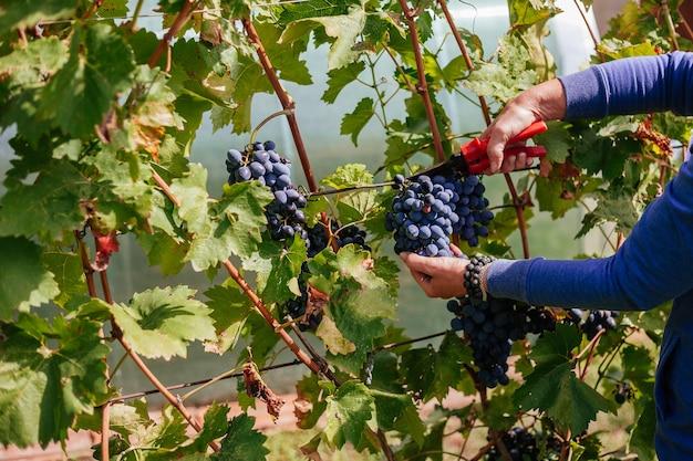 Agriculteur cueillant des raisins