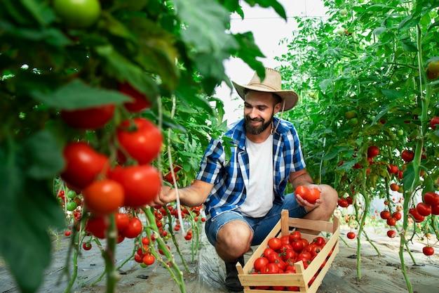 Agriculteur, cueillette de légumes tomates mûres fraîches et mise en caisse en bois