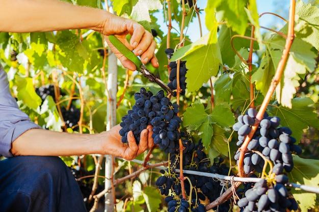 Agriculteur cueillette de raisins dans une ferme écologique.
