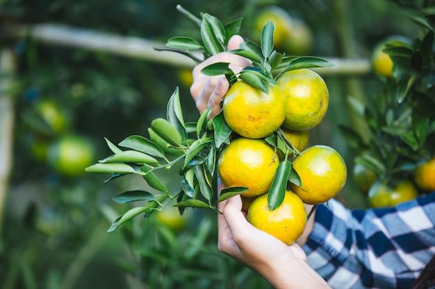 Agriculteur dame orange, les jardiniers ramassent orange, orange garden.