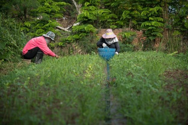 Agriculteur désherbe des plantes dans le potager, agriculture écologique