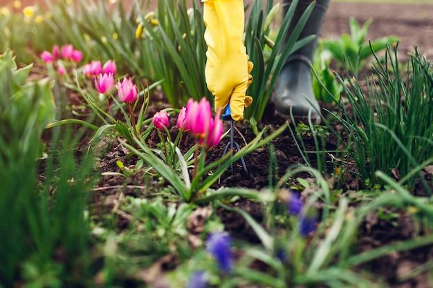 Agriculteur desserrant le sol avec une fourchette à main parmi les fleurs de tulipes au printemps dans le jardin. concept de passe-temps et d'agriculture