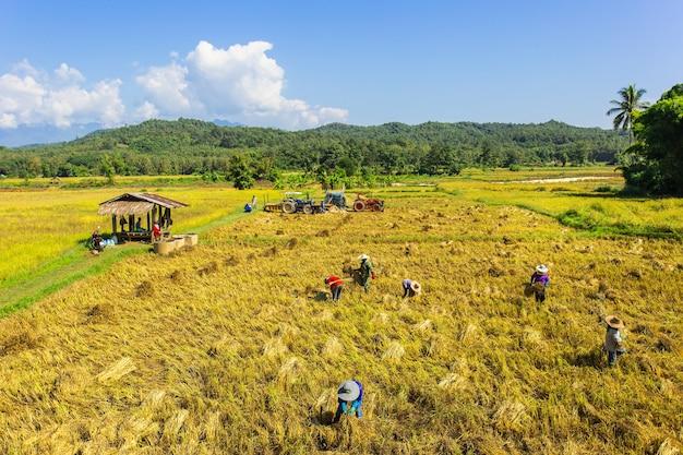 L'agriculteur du nord de la thaïlande a récolté du riz biologique dans la vue paysage de la saison des récoltes