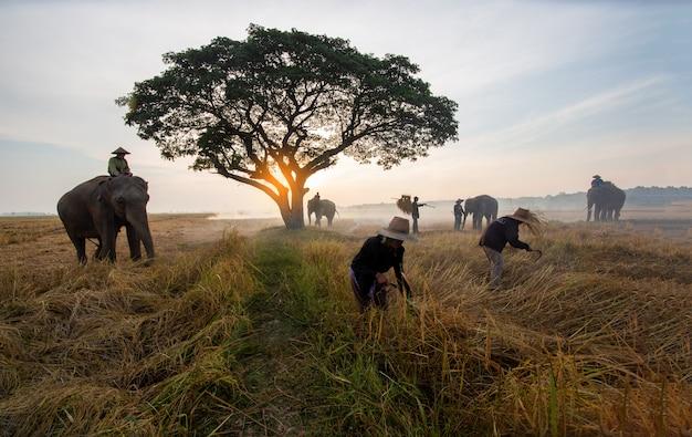 Agriculteur et éléphants au champ de riz faisant la récolte