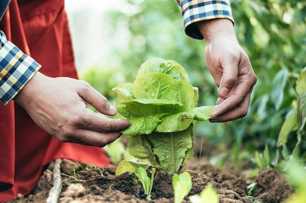 Agriculteur examinant une plante de laitue dans un domaine de l'agriculture biologique