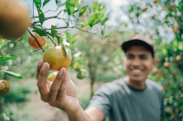 Un agriculteur heureux récolte des fruits orange dans la plantation d'orangers