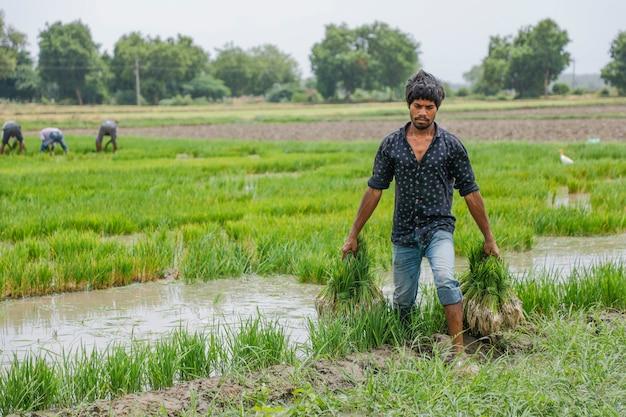 Agriculteur indien travaillant dans un champ de riz