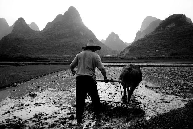 Agriculteur labourant une rizière, guangxi, chine.